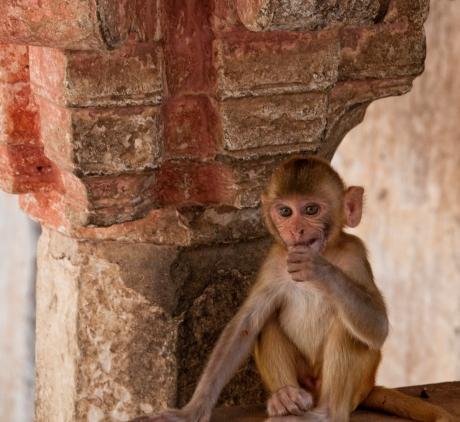 scimmia a Galta